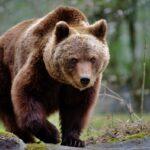 È possibile usare lo spray al peperoncino per difendersi dagli orsi?