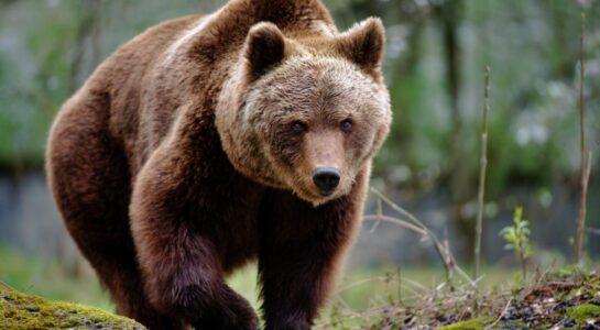 difendersi dagli orsi